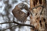 Barred Owl Lift Off