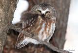 Northern Sawhet Owl
