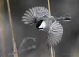Chickadee Motion