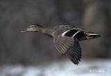 Mallard (f) In Flight