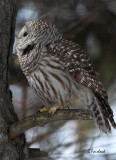 Light Profile On The Barred Owl