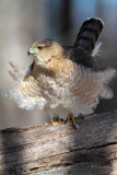 Cooper's Hawk (f)