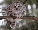 Barred Owl Fixation