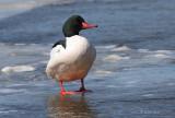 Common Merganser(m) On Ice