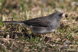 Junco With Dinner
