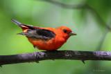 Scarlet Tanager (m)