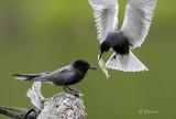 Black Tern Courtship