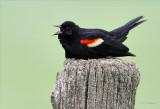 Red-wing Blackbird Posting