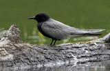 Male Black Tern Profile