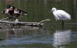 How little is a Little Egret?