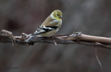 Goldfinch On Vine