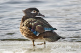 Icy Wood Duck