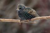 Winter Starling