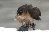 Coopers Hawk With A Chance Of Flurries
