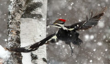 Pileated Snow Squall