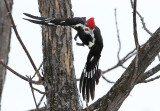 Concentrated Pileated