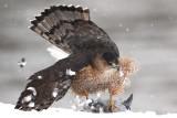 Cooper'S Hawk (s)