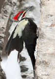 Pileated Wing Movement