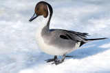 Winter Pintail