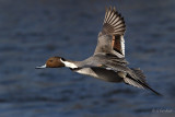 Pintail On Blue