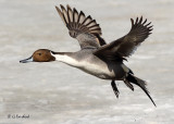 Pintail Over Ice