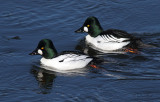 Common Goldeneyes and Friends