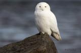 Ottawa River Snowy Owl