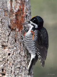 Black Backed Woodpecker (m)