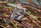 Redpoll Colors