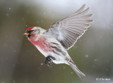 Nothing But Redpolls