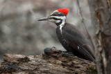 Pileated Woodpecker (f)