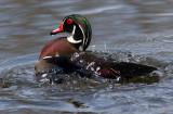 Wood Duck Agitator