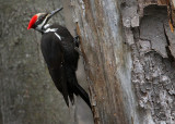 Pileated Female