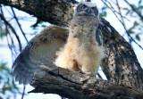 GH Owlet