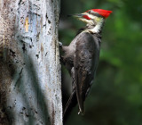 Male Pileated