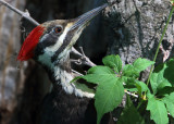 Female Pileated