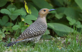 Northern Flicker (f)