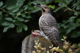 Northern Flicker (m)