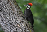 Brand New Pileated