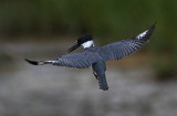 Kingfisher Hover
