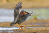 Green Heron With Fish...and weeds