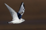 Bonaparte's Gull II