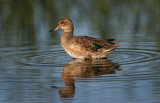Green Winged Teal (f)