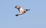 Kingfisher Grab Shot