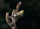 Fall Finch