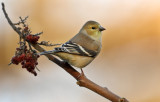Goldfinch On Sumac