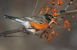 Orange Swallow
