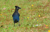 Steller's Jay - Wickaninnish Beach