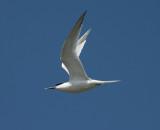sandwich tern / grote stern, Westkapelle