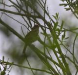 thrush nightingale / noordse nachtegaal, Biesbosch